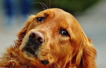 golden-retriever-1342257__340