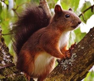squirrel-1520678__340